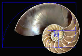 Image result for fibonacci in human body