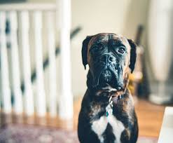 80 brindle dog names