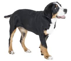 greater swiss mountain dog. Simple Mountain Appearance Of Greater Swiss Mountain On Dog I