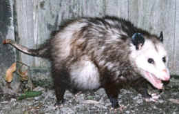 Reproduction Life Cycle Opossum Society Of The United States