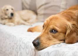 Melatonin For Dogs Is It Safe