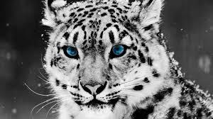 black tiger with blue eyes wallpaper. Delighful Tiger A Tiger With Blue Eyes 1920x1080 With Black Wallpaper I