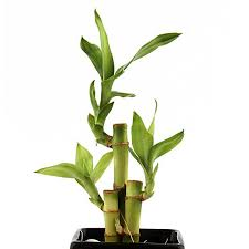 feng shui plant office. Lucky Feng Shui Plant Office
