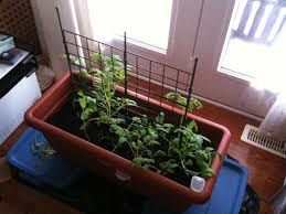 Winter Growing Tomatoes How To Grow Tomatoes Indoors