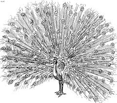 Small Picture Peacock Coloring Page Kids Website For Parents