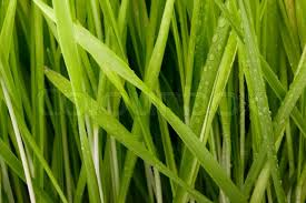 Close up of many green grass blades as a background Stock Photo