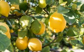 Best Grow Light For Citrus Tree 8 Tips For Growing Lemon Trees In Large Planters