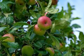apple tree leaves apple tree fresh