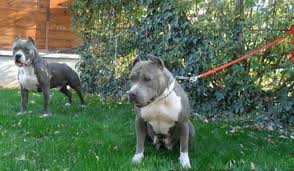 If there were ever a dog that got a bad rap in life it would without a doubt be the american staffordshire terrier. Pitbull Blue Line In 1190 Wien For 700 00 For Sale Shpock
