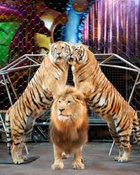 Image result for Circus Lions