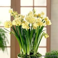 White Paper Flower Bulbs Paper White Bulb Bulbs In Water Info Paperwhite Bulk