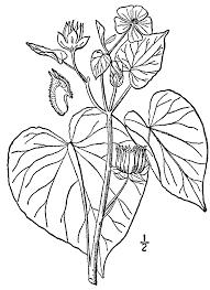 Abutilon theophrasti - Wikipedia