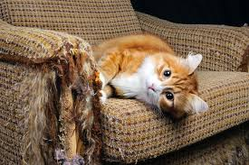 cat with arm of couch it shredded