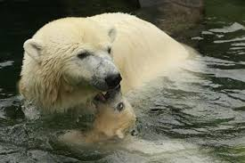 polar bear eaten by shark who s top predator <p>polar bear cub wilbaer plays his mother corinna in their enclosure at the wilhelma zoo in stuttgart during his first appearance 16 2008