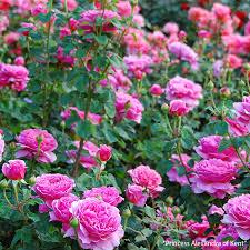 thum rose david austin