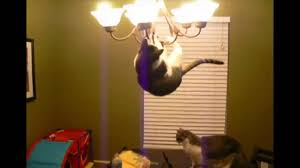 cat jumps on the chandelier