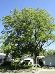Kentucky coffee tree is a medium tree with stout, blunt branches forming a narrow, rounded crown. Espresso Kentucky Coffee Tree