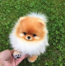 pomerian pet cute puppy and fluffy