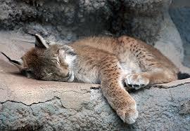 Lynx' - TLS