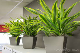 interior landscaping office. File Top Dracaena Lemon Lime 3 Interior Landscaping Office