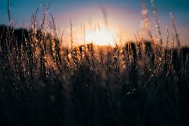 tall grass field sunset. #3840x2560 Sunset Captured From A Low Perspective In Field Against Tall Grass Vauhallanvauhallan 4k Wallpaper And Background #56647 O