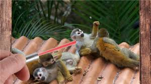 Laser Light To Scare Monkeys This Is What Happens If You Bring A Laser Pointer To A Zoo