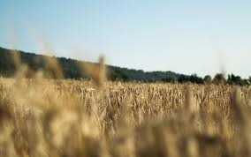 500+ <b>Wheat Field</b> Pictures   Download Free Images on Unsplash