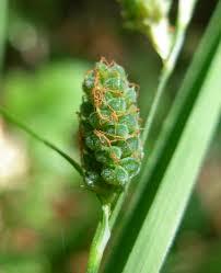 Carex grioletii