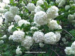 Image result for image snowball bush