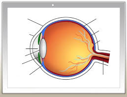 Order In Which Light Passes Through The Eye Quizlet Eye Structure Diagram Quizlet