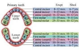 When Do Baby Teeth Come In Baby Child Tooth Eruption