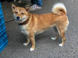 dodge dog breed. Perfect Breed Doge Meme Japanese Dog Breed Shiba Inu  By Marcoverch With Dodge D