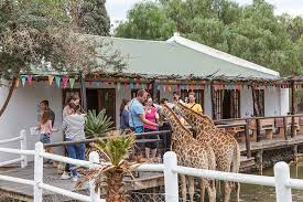 giraffe experience at chandelier game lodge giraffe experience oudtsn