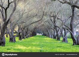olive grove tranquility carmelite monastery san francisco carmel infant stock photo