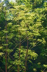 Peucedanum verticillare - Wikipedia