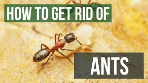how to get rid of ants guaranteed ant control in home yard