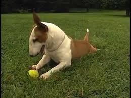 miniature bull terrier.  Miniature To Miniature Bull Terrier R