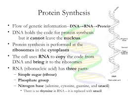 Where does protein synthesis start