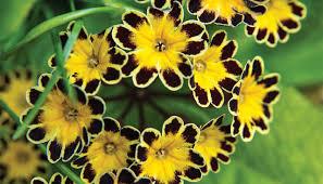 polyanthus tips and tricks