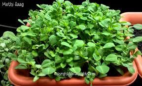 Kitchen Garden Seeds Wahsush Kitchen How To Grow Methi
