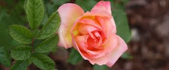 bare root roses may look deceiving when first purchased with their absent leaves and brown roots but once planted and given proper care you will receive
