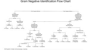 Gram Negative Bacteria Chart Solved I Am Working On My Microbiology Minor Key For A Ba