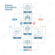 Human Blood Flow Chart Human Circulatory System Vector Illustration Diagram Poster