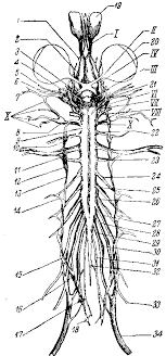 Нервная система лягушки Привет Студент  Нервная система лягушки