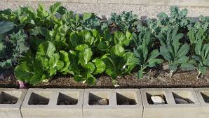 desert gardening. Vegetable Bed With Kale, Bok Choy, And Greens. Desert Gardening E