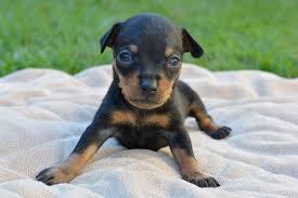prague ratter puppy