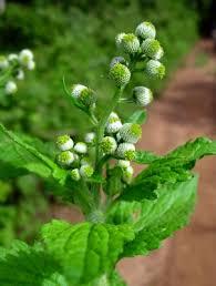 Dichrocephala integrifolia - Useful Tropical Plants
