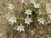 Ornithogalum orthophyllum