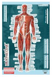 Chiropractic Wall Charts Muscular System Sticky Wall Chart Anterior