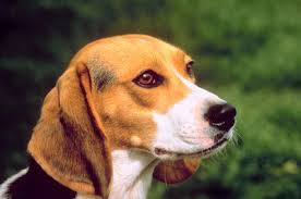 Normal Beagle Height Weight Pets